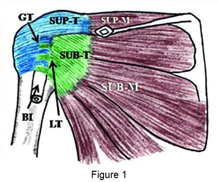 Diagram detailing shoulder capsule attachments